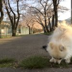 桜の散歩道をいくポメラニアン