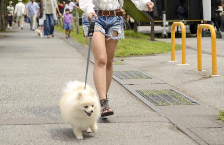 軽井沢を散歩するポメラニアン