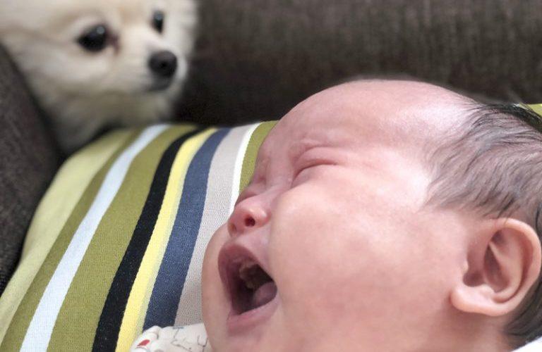 泣いてる赤ちゃんに寄り添うポメラニアン