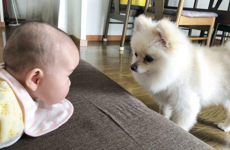 赤ちゃんをあやしているポメラニアン