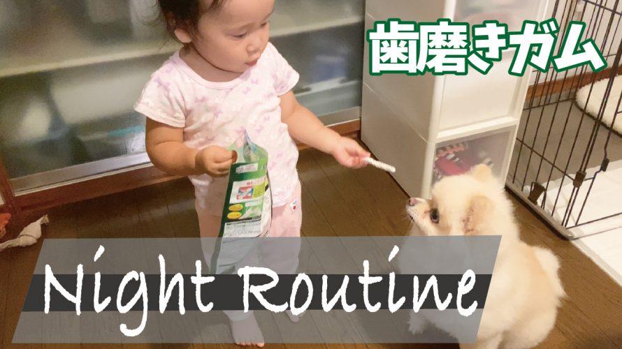 寝る前の歯磨きガム【ポメラニアンのNight Routine】