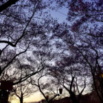 高遠城址公園の桜を娘たちに初めて見せてみた